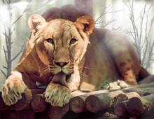 Lioness Licks His Paw