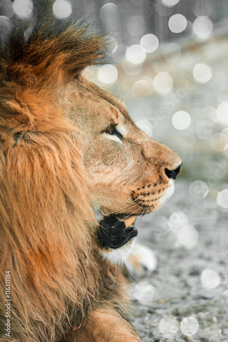 Fototapety, obrazy: African lione lying close-up