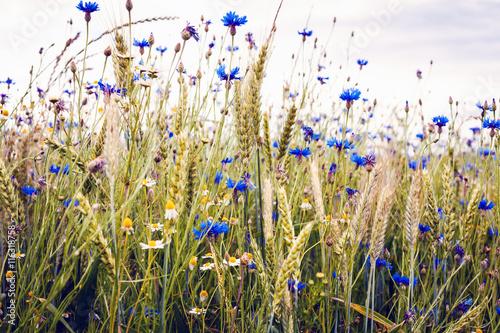 Fototapety, obrazy: Wildblumen im Sommer