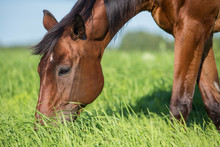 Horse In The Summer Pasture