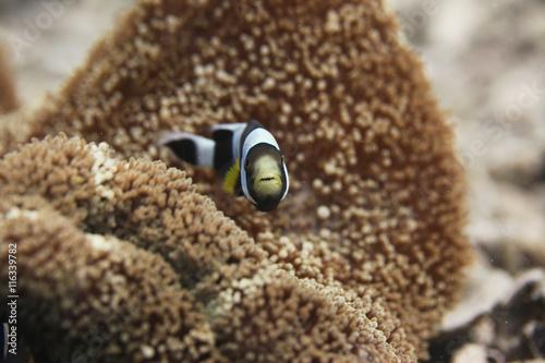 Plakat  Błazenek/ Nemo