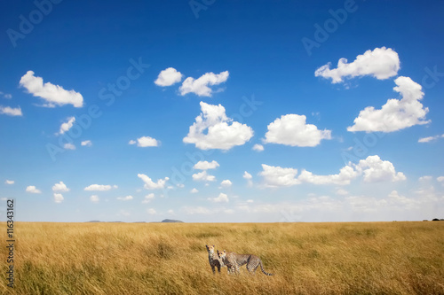 Cheetahs against a beautiful sky with clouds . Africa. Safari.