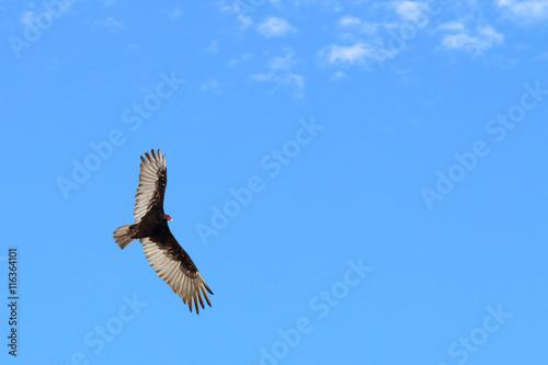 Fotografie, Obraz  Soaring condor