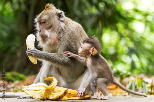 Staande foto Aap Monkeys eat bananas. Monkey forest in Ubud, Bali, Indonesia.