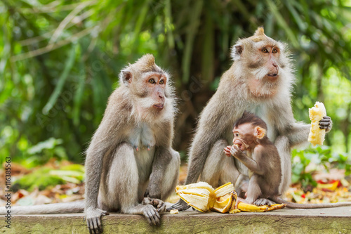 Foto op Aluminium Aap Monkeys eat bananas. Monkey forest in Ubud, Bali, Indonesia.
