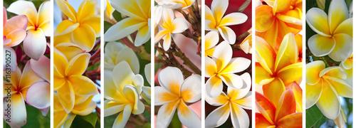 fleurs exotiques de frangipanier Wallpaper Mural