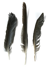 Assorted Scruffy Black Bird Feathers Isolated On A White Background