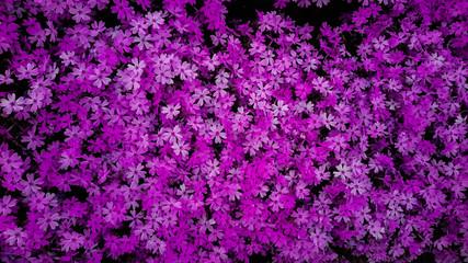 Moss phlox of Japan.