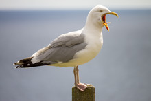 Single Seagull Standing On A Pole Squawking