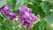 Lilac purple flowers tree with green leaves close up, natural seasonal spring floral background with copy space