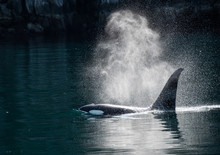 Orca Whale Blow In The Sunlight