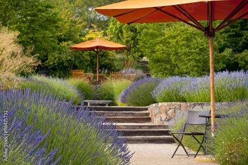 Lavender garden in bloom