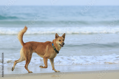 dog ,pet running at sea beach - 116433334