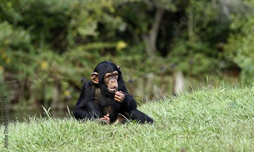 Foto op Aluminium Aap Baby Chimpanzee