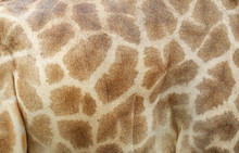 Genuine Leather Skin Of Giraffe