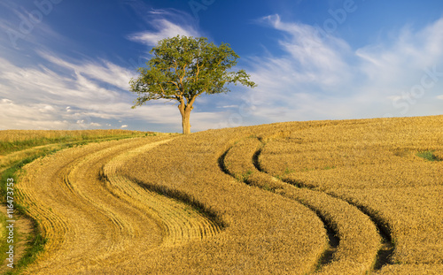 Fototapeta Samotne drzewo na polu dojrzałego zboża obraz