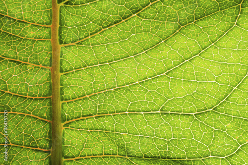 Deurstickers Textures A macro photo of an illuminated Milkweed plant leaf. I used a backlight to bring out the textures and bright green colors.