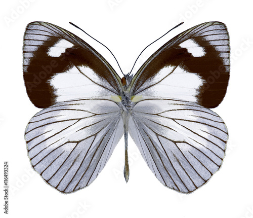 Fotobehang Vlinder Butterfly Leptophobia penthica (underside) on a white background