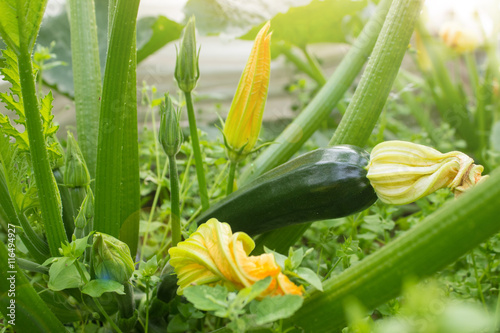 Green zucchini in garden in summer day