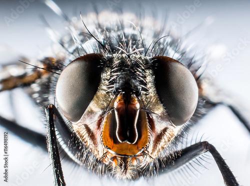 Fotografía  Bluebottle fly macro