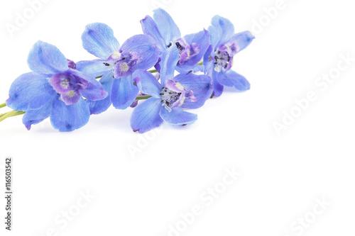 Fotografia Blue delphinium flowers isolated on white background