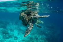 Mating Season Turtles