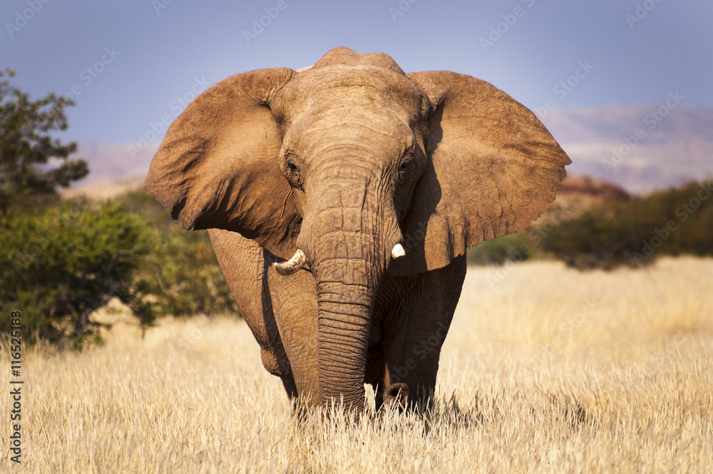 Fotografía  Elephant in the savannah, in Namibia, Africa, concept for traveling in Africa an