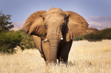Elephant In The Savannah, In N...