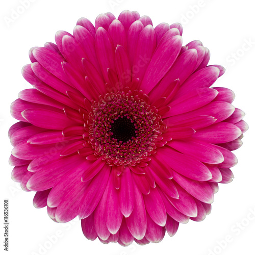 Aluminium Prints Gerbera Gerbera daisy isolated on white background.
