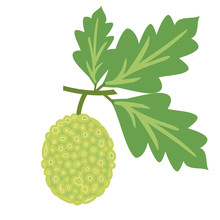 Breadfruit Vector Illustration