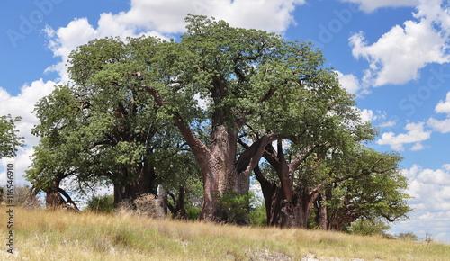 Canvas Print Baines Baobab,Botswana