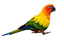 Sun Parakeet Or Sun Conure (Aratinga Solstitialis) The Lovely Ye