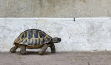 Tortoise On Concrete