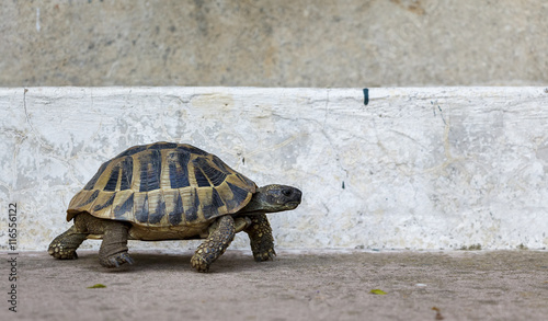 Poster Tortue Tortoise on Concrete