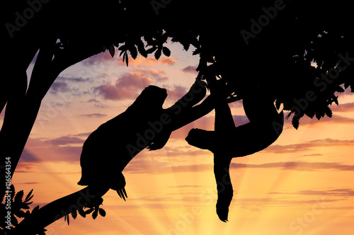 Fotografia  Pair sloths animals in a tree