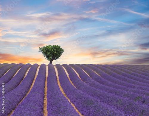 Beautiful landscape of blooming lavender field - 116566998