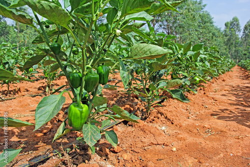 Fotomural Capsicum plants with ripening green fruits from a cultivation field in India