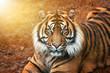 canvas print picture - Tiger männchen bei Sonnenuntergang von nah im Portrait mit intensiven Augen