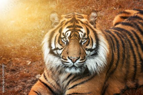 Poster Tijger Tiger männchen bei Sonnenuntergang von nah im Portrait mit intensiven Augen