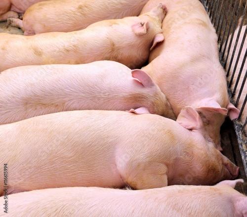 Fotografie, Tablou  asleep pig in pig-breeding farm