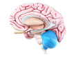 canvas print picture - 3d rendered medically accurate illustration of the cerebellum