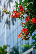 Campsis Grandiflora (Chinese T...