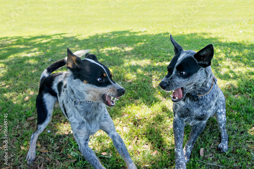 Two Australian Cattle Dogs or Blue Heelers snarling growling warning showing agg Poster Mural XXL