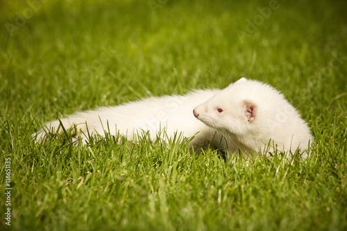 Keuken foto achterwand Kat Two months old albino ferret baby