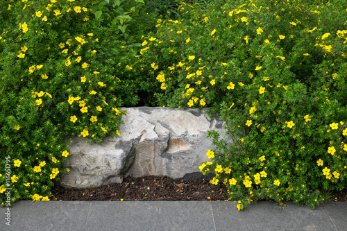 Foto  Stone bench being overgrown by potentilla, yellow flowering shrub