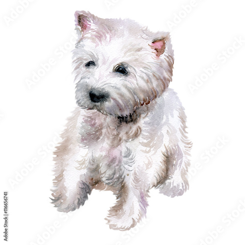 Watercolor Closeup Portrait Of West Highland White Terrier Breed Dog