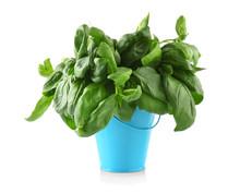 Fresh Basil In Bucket, Isolate...