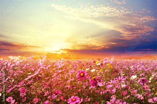Платно  Landscape nature background of beautiful pink and red cosmos flower field with sunset