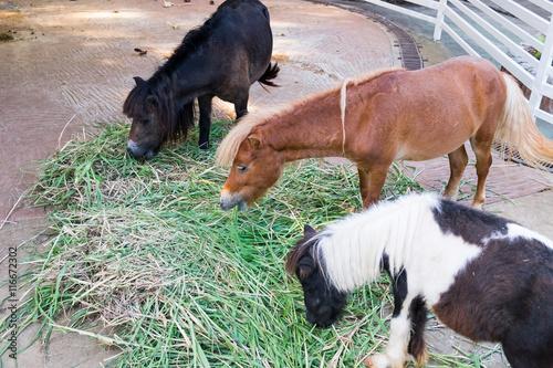 Foto op Canvas Paarden Three horse dwarf young eat grass
