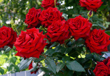 Large Bush Of Red Roses On A B...